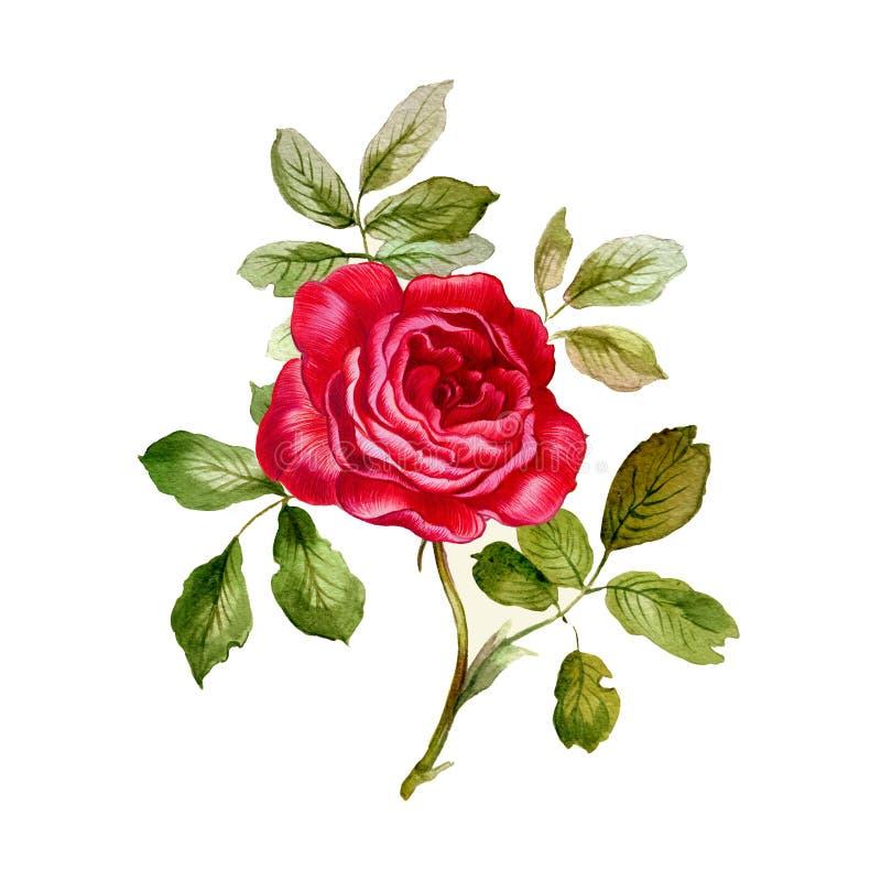 O vermelho levantou-se Aguarela pintado à mão ilustração royalty free