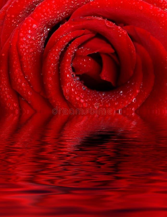 O vermelho levantou-se com gotas de água foto de stock