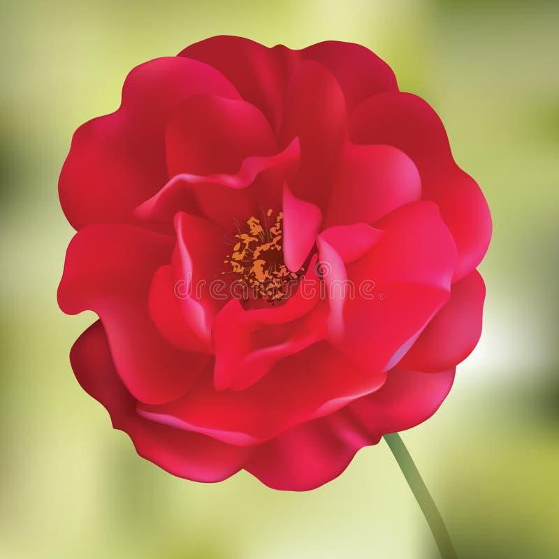 O vermelho levantou-se. Flor do engranzamento ilustração stock