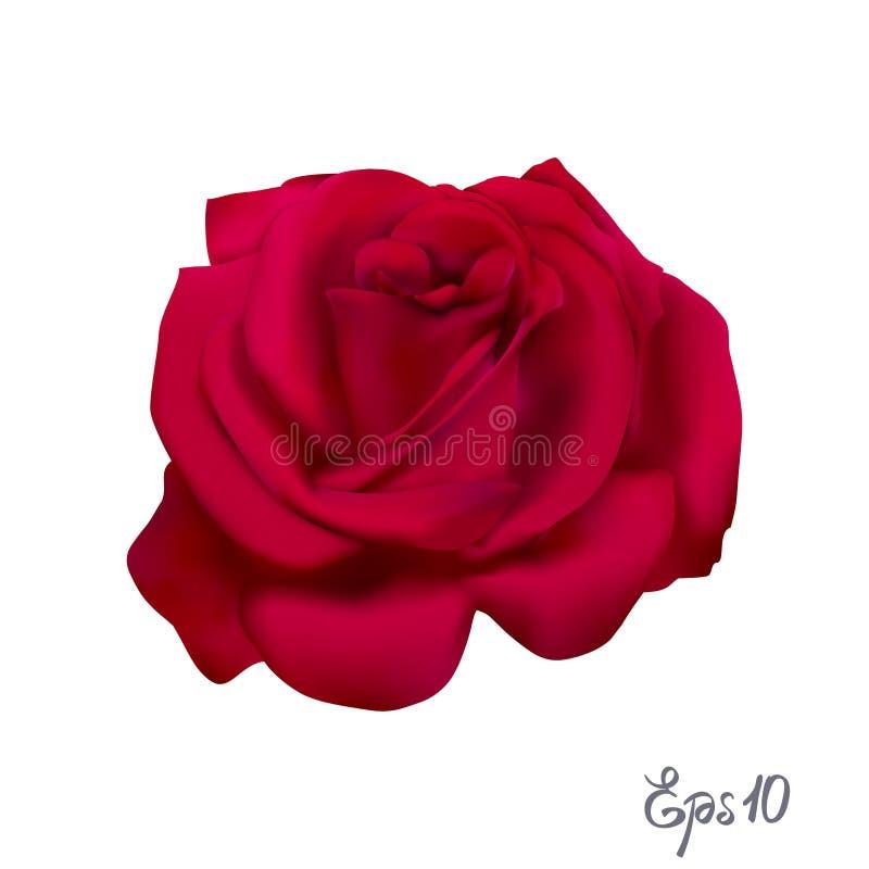 O vermelho levantou-se Flor isolada em um fundo branco ilustração royalty free