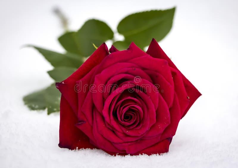 O vermelho levantou-se na neve imagens de stock royalty free