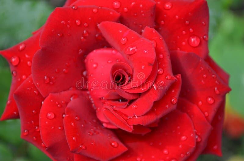O vermelho levantou-se no jardim foto de stock