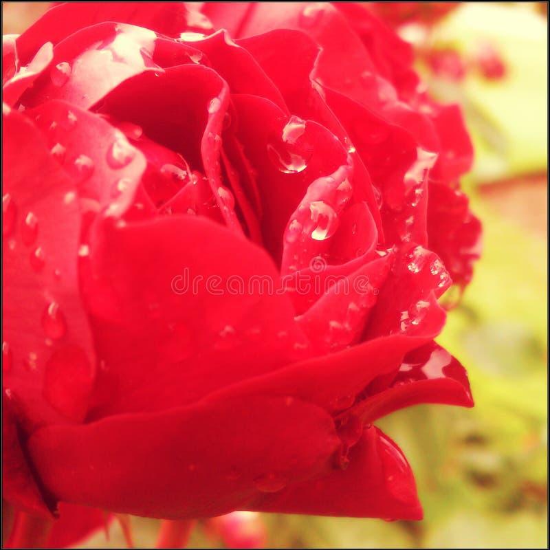O vermelho molhado levantou-se imagens de stock royalty free