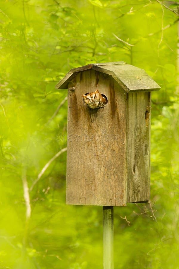 O vermelho Morph a coruja de cantada oriental na caixa com Forest Background borrado imagem de stock
