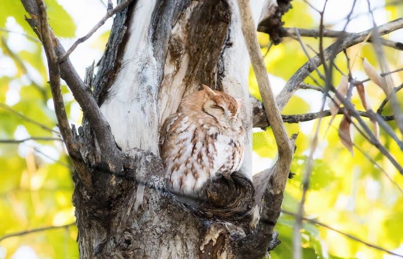 O vermelho oriental Morph o asio de Megascops da Cantada-coruja em Ash Tree fotos de stock