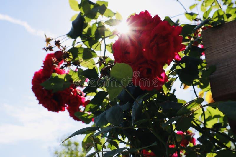 O vermelho selvagem aumentou fim bonito da flor acima do jardim botânico fotografia de stock royalty free