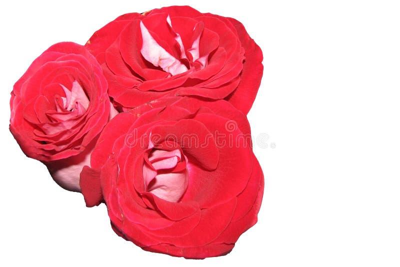 O vermelho três brilhante luxúria isolado aumentou flores em um fundo branco fotografia de stock royalty free