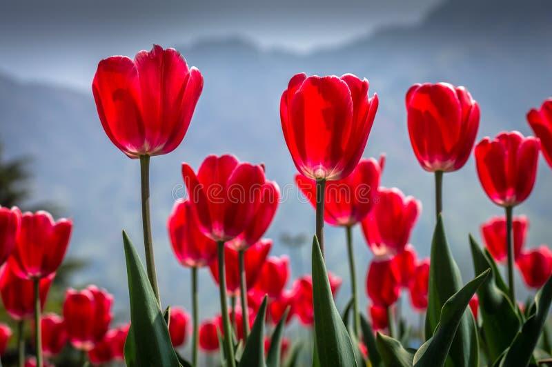 O vermelho vibrante coloriu tulipas em Tulip Garden famosa em Kashmi fotografia de stock royalty free