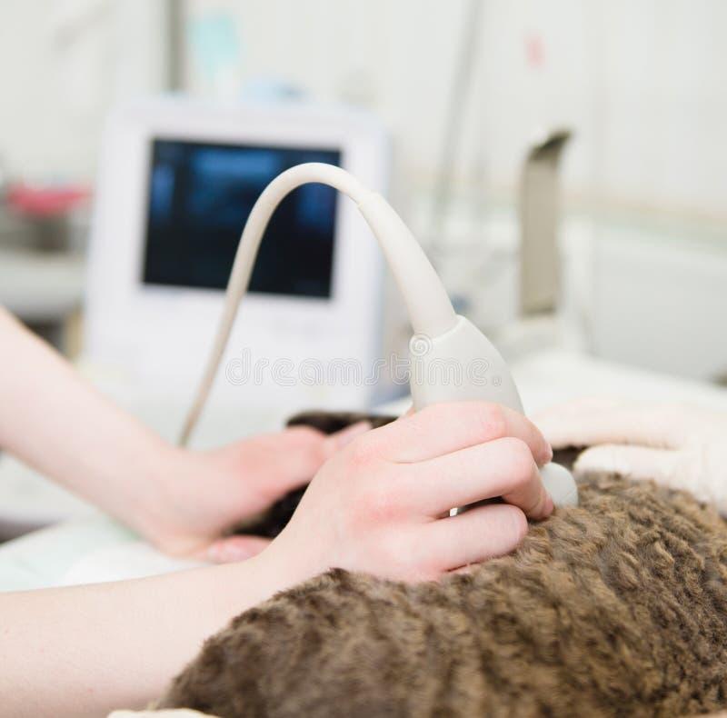 O veterinário da mão do close-up executa um exame do ultrassom fotos de stock royalty free