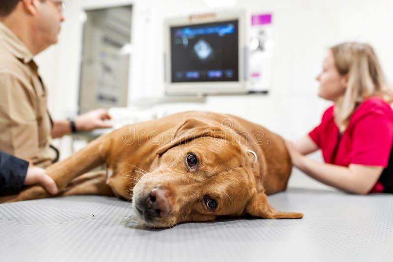 O veterinário do doutor faz o ultrassom e o cardiograma do coração do cão no escritório Raça doente Labrador do cão que olha fotos de stock