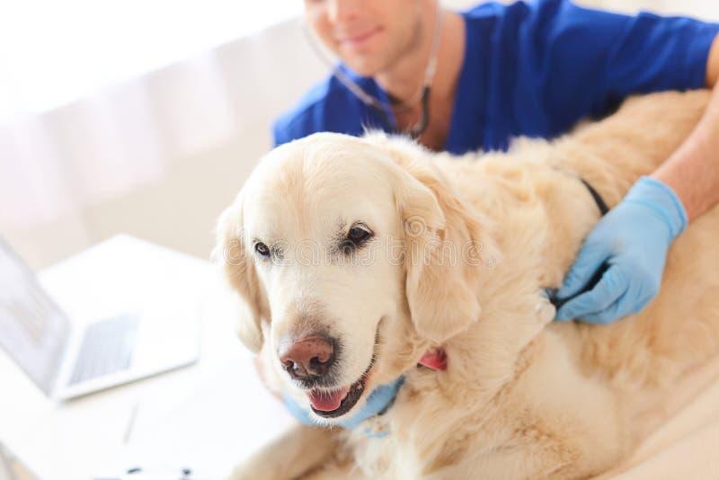 O veterinário masculino hábil está fazendo o exame do cachorrinho fotografia de stock royalty free