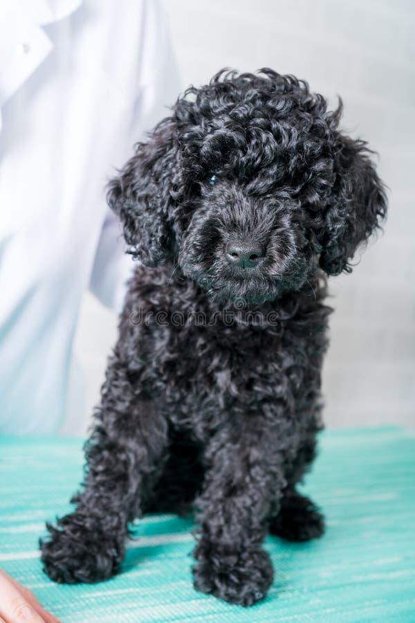 O veterinário na clínica do veterinário está examinando pouco cão imagens de stock royalty free