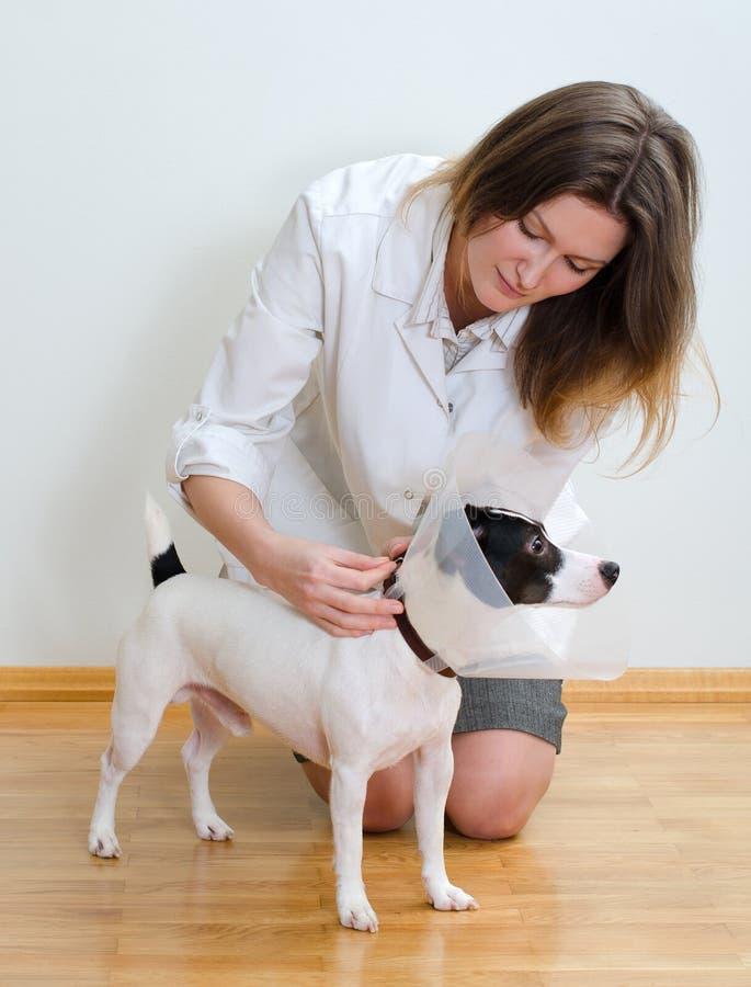 O veterinário pôr o cone protetor para perseguir fotografia de stock royalty free