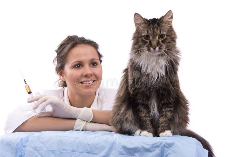 O veterinário tem um exame médico um gato foto de stock royalty free