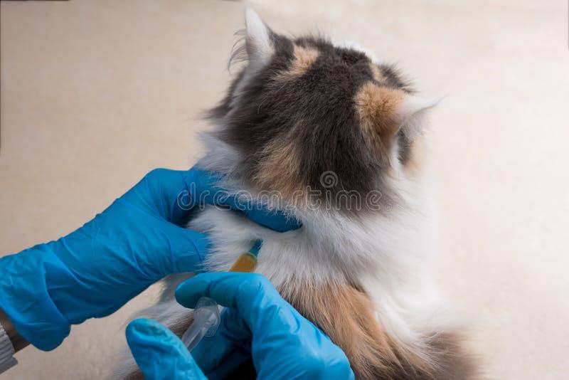 O veterinário vacina o gato Vacinação dos animais Copie o espaço imagens de stock royalty free