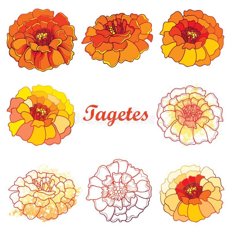 O vetor ajustou-se com esboço Tagetes ou flor do cravo-de-defunto ilustração do vetor
