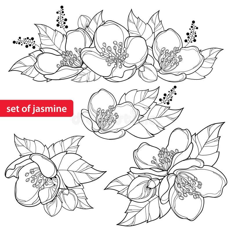 O vetor ajustou-se com o grupo da flor do jasmim do esboço, o botão e as folhas ornamentado no preto isolados no fundo branco Jas
