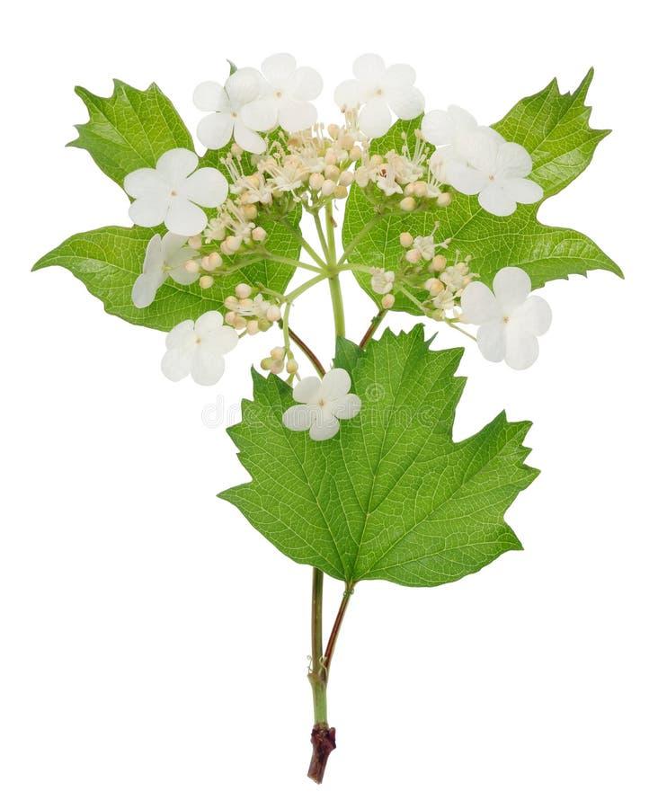 O viburnum selvagem do arbusto da floresta floresce nas flores brancas da mola fotos de stock royalty free
