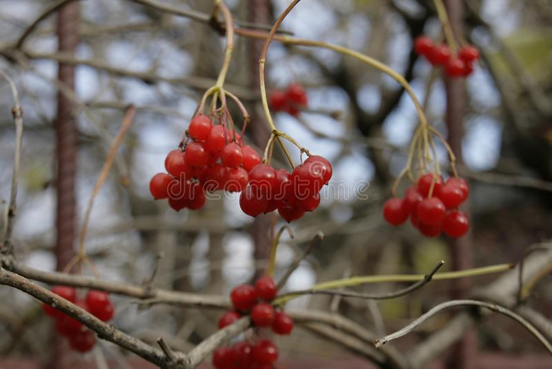 O viburnum vermelho sob meu outono da janela congela somente as bagas minhas imagens de stock
