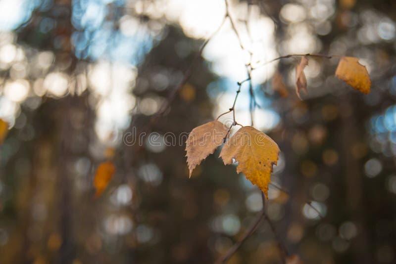 O vidoeiro amarelo do outono sae em um fundo borrado do céu e da floresta fotos de stock royalty free