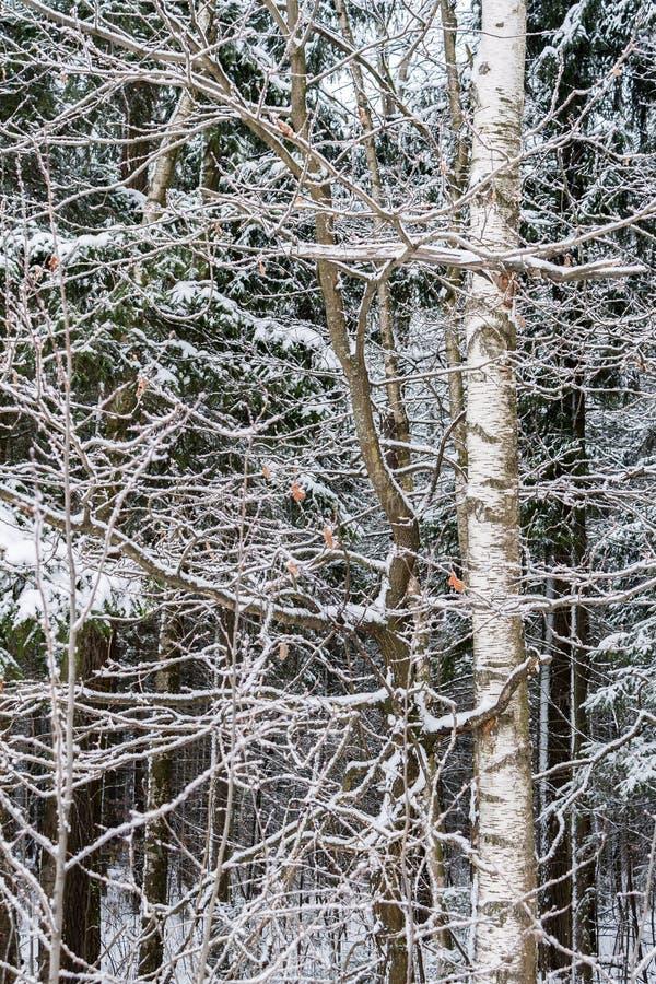 O vidoeiro coberto de neve ramifica close up na floresta do inverno fotografia de stock