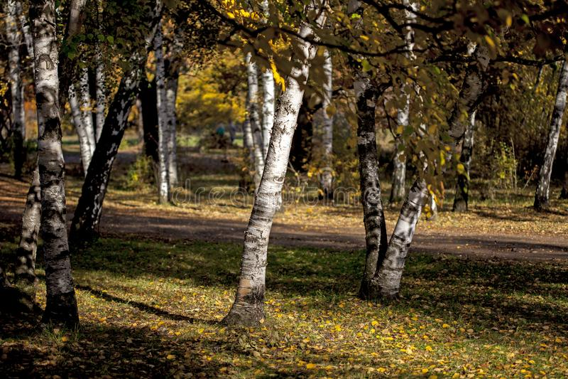 O vidoeiro com amarelo sae na floresta no outono em um dia ensolarado outono dourado na floresta em um dia ensolarado do outono fotografia de stock