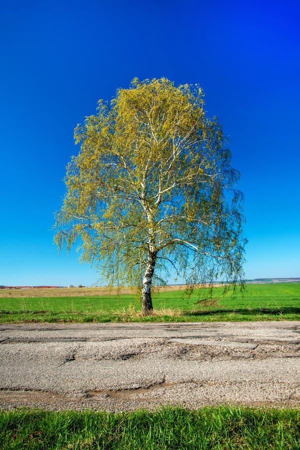 O vidoeiro com verde fresco sae ao lado de uma estrada secundária na mola foto de stock royalty free