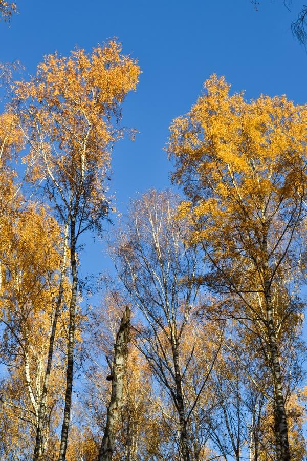 O vidoeiro dourado sae no fundo vibrante do céu azul no outono foto de stock
