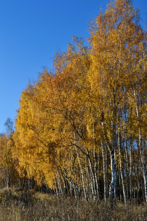 O vidoeiro dourado sae no fundo vibrante do céu azul no outono fotos de stock