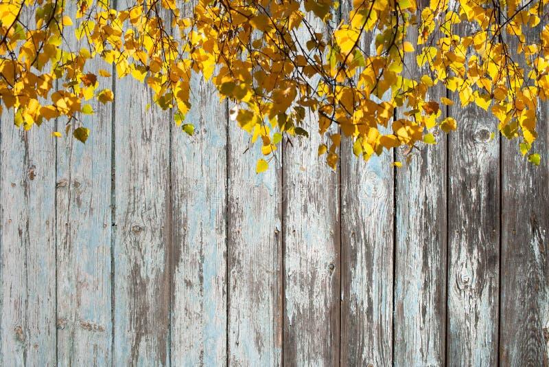 O vidoeiro ensolarado ramifica com as folhas amarelas brilhantes no fundo da parede de placas de madeira com pintura gasto imagem de stock