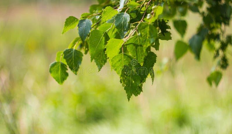 O vidoeiro verde sae em um close-up do ramo Fundo bonito com as folhas do vidoeiro no ramo Folhas do vidoeiro, com furos pequenos foto de stock