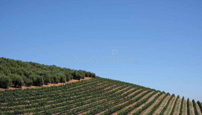 O vinhedo na propriedade do vinho de Tokara, Cape Town, África do Sul, tomada em um dia claro As videiras são plantadas nas filei fotos de stock royalty free