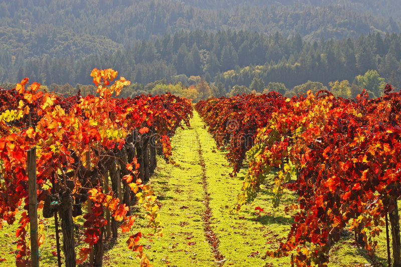 O vinhedo W/Autumn colore Napa imagens de stock royalty free
