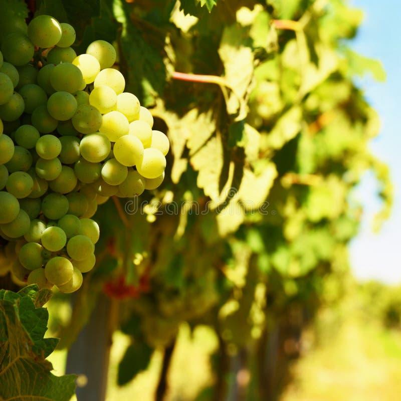 O vinho no vinhedo Região do vinho de Moravia sul República Checa foto de stock royalty free