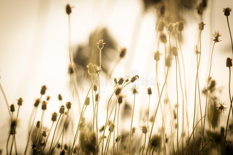 O vintage da grama da flor em relaxa o tempo de manhã imagem de stock royalty free