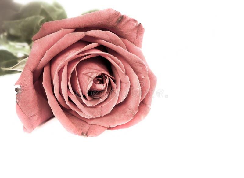 O vintage romântico aumentou. imagens de stock royalty free