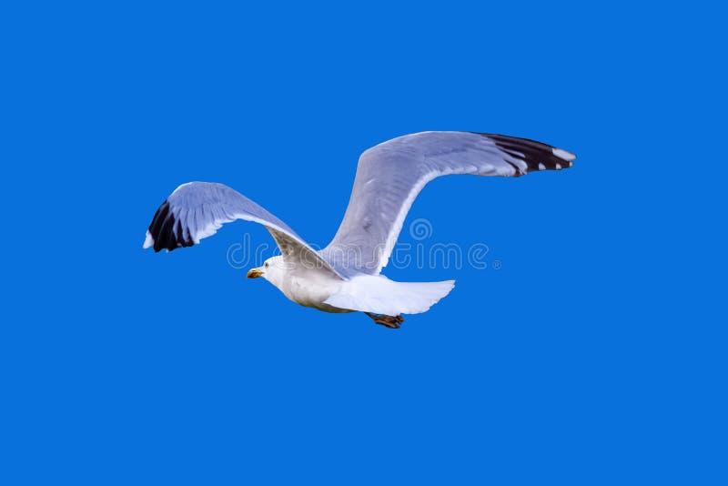 O voo da gaivota afastado voa o isolado espalhado no fundo azul de atrás imagens de stock