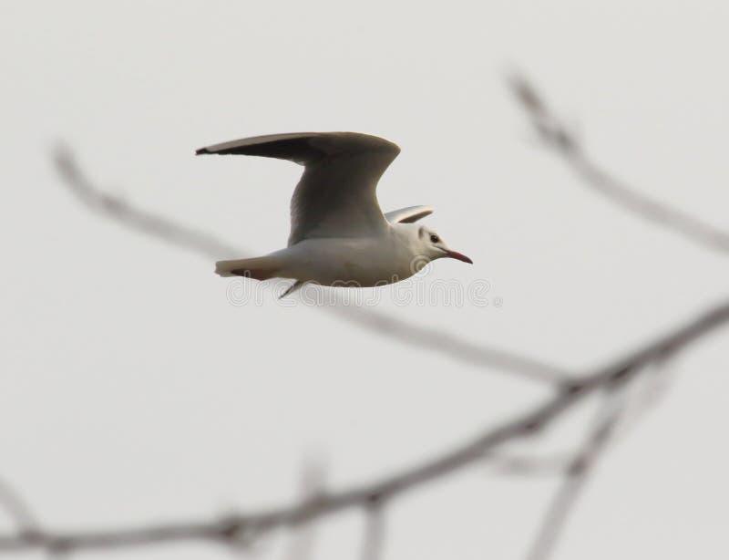 O voo da gaivota imagens de stock
