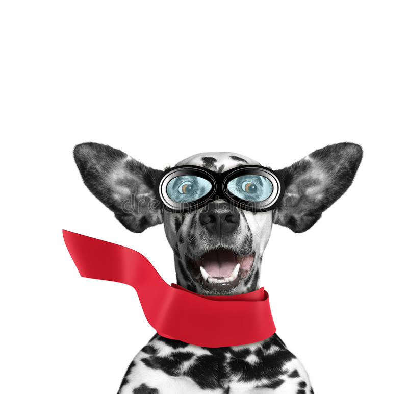 O voo dalmatian bonito do cão com suas orelhas gosta de um super-herói Isolado no branco fotos de stock royalty free