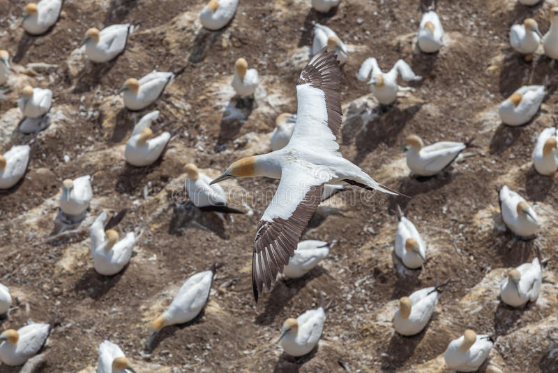 O voo do albatroz de Austalasian acima da colônia do albatroz imagens de stock