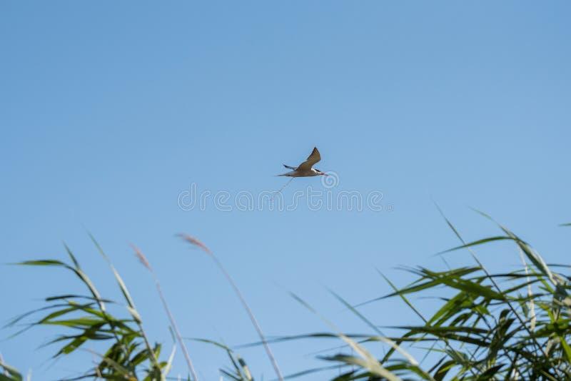 O voo do pássaro e defeca Tombadilhos dos pássaros O hirundo comum dos esternos da andorinha-do-mar é uma ave marinho no Laridae  fotografia de stock