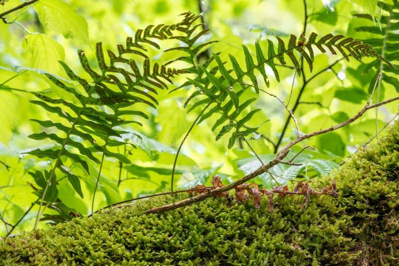 O vulgare do Polypodium da samambaia do polypody comum cresce entre o musgo grosso imagem de stock