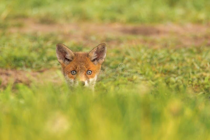 O vulpes do Vulpes da raposa vermelha é o único representante da Europa Central das raposas imagem de stock royalty free