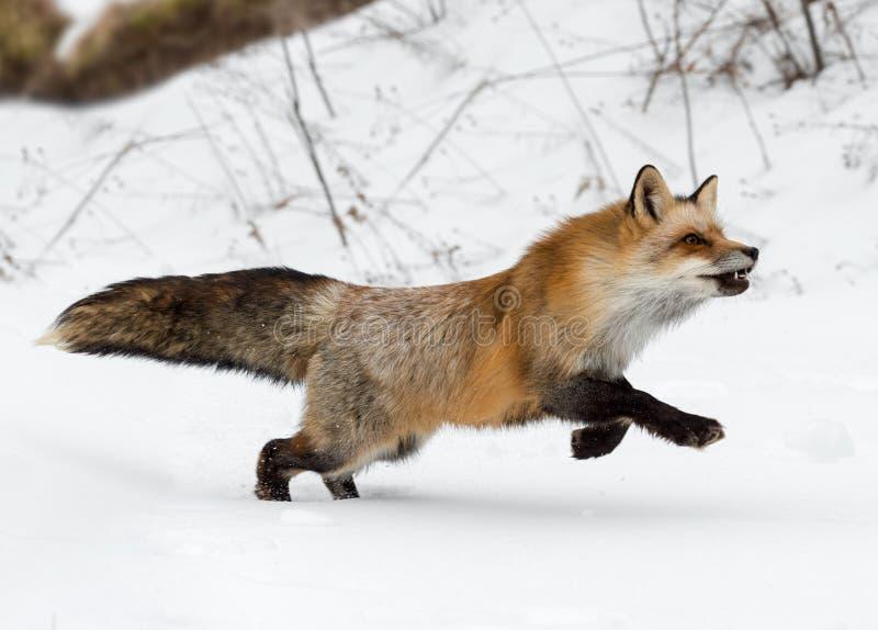 O vulpes do Vulpes do Fox vermelho corre certo fotografia de stock