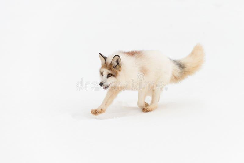 O vulpes vermelho do Vulpes do Fox do mármore corre isolado à esquerda contra a neve imagens de stock royalty free