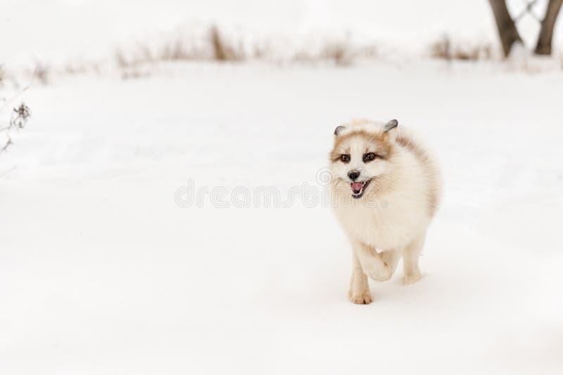 O vulpes vermelho do Vulpes do Fox do mármore corre para a frente imagens de stock