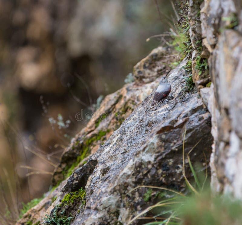 Wallcreeper nas rochas foto de stock