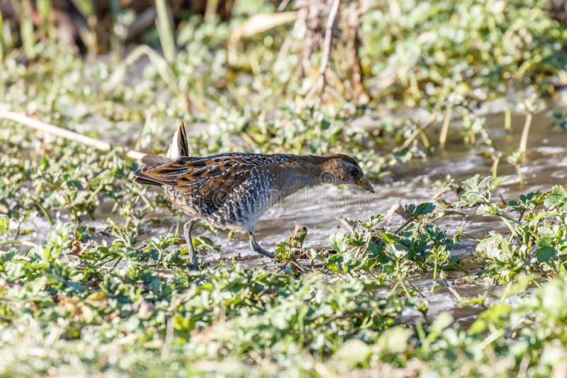 O waterbird sora fotos de stock