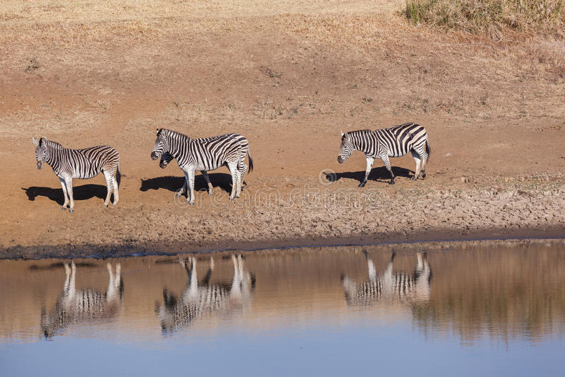 O Waterhole da zebra dos animais quatro dos animais selvagens imagem de stock royalty free