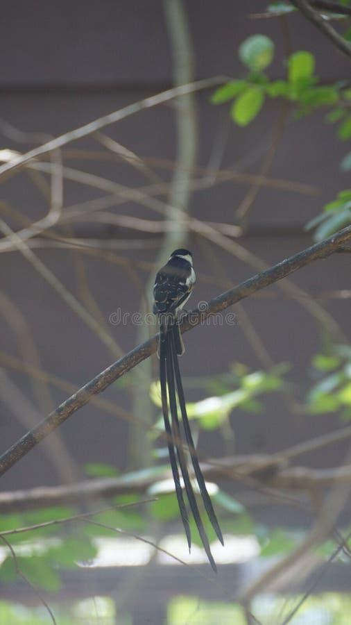 O whydah de cauda rosada é umas aves canoras pequenas com um notável flâmula-como a cauda em produzir homens imagens de stock